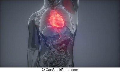 Human Heart Radiology Exam - science anatomy scan of human...