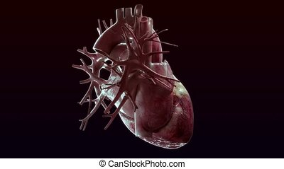 human heart rotate on black background