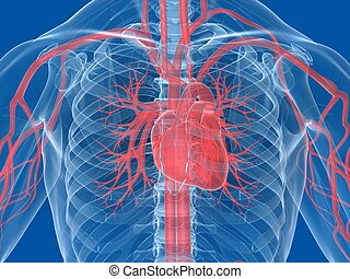 human heart - 3d rendered illustration of a human...