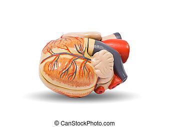 Human heart anatomy model, medical visual aid