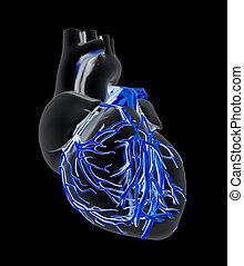 Human heart