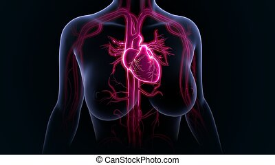 Human Heart - The heart is a muscular organ about the size ...