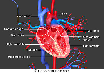 Human heart - The heart is a muscular organ in humans and...