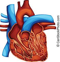 human heart - Cross section of the human heart
