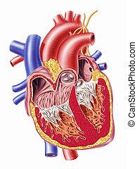 Human hearth cross section
