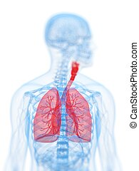 Human highlighted lung - 3d rendered, medical illustration ...