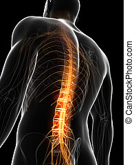 Human highlighted spine - 3d rendered illustration of the...