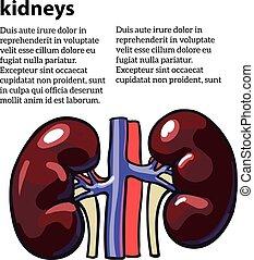 Human internal organ kidney