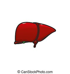 Human internal organ liver isolated - Liver anatomy isolated...
