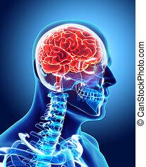 Human Internal Organic - Brain.