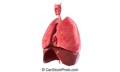 human internal  organs rotation 360, loop