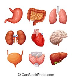 Human internal organs. Stomach and lungs, kidneys and heart, brain and liver. Body parts vector anatomy set