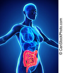 Human Intestine Anatomy Illustration. 3D render