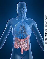human intestines - 3d rendered illustration of human body...