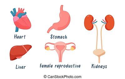 human, jogo, style., órgãos, estômago, liver., reprodutivo, rins, apartamento, coração, femininas, caricatura, vetorial, ilustração, sistema