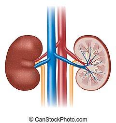 Human kidney anatomy.