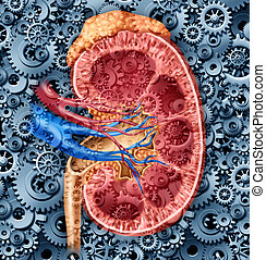 Human kidney function medical concept with a cross section of the inner organ with red and blue arteries and adrenal gland with gears and cogs as a health care illustration of the anatomy of the urinary system.
