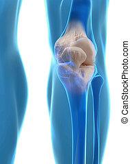 Human knee anatomy