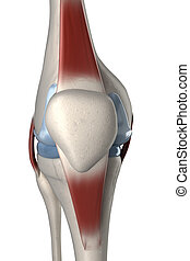 Human knee anterior view isolated