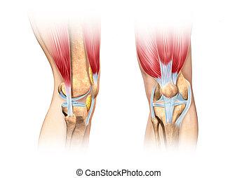 Human knee cutaway illustration. Anatomy image. - Human knee...