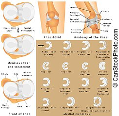 Anatomy of the Knee - Human Knee Joint. Anatomy of the Knee....