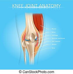Human Knee Joint Anatomy Realistic Vector Scheme