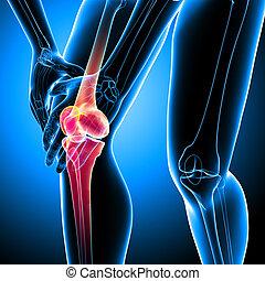 3d rendered Illustration of Female knee pain anatomy on blue