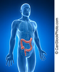 Human large intestine - 3d rendered illustration of the ...