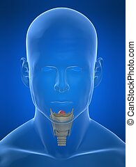 human larynx - 3d rendered illustration of a human head...