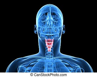 human larynx - 3d rendered x-ray illustration of a human...