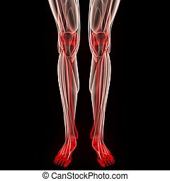Human Leg Joints Muscles Anatomy