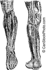 Human Leg, showing deep anterior region (left), and deep posterior region (right), vintage engraved illustration. Usual Medicine Dictionary by Dr Labarthe - 1885