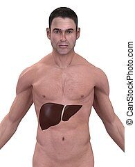 human liver - 3d rendered illustration of a male body with ...