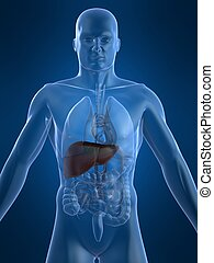 3d rendered illustration of human body with liver