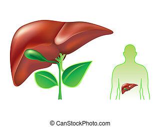 Human liver - Healthy human liver concept illustration