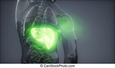 Human Liver Radiology Exam - science anatomy scan of human...