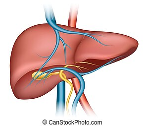 Human liver structure. Organ human, medical science, health...