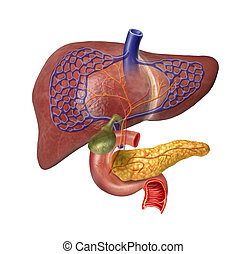 Human Liver system cutaway, with Pancreas, Duodeno, Gallbladder, Veins and Arterias. On white background with clipping path included.