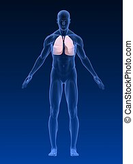 3d rendered illustration of a transparent body with lung