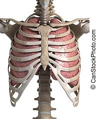 Human lung and thorax - 3d rendered illustration of the lung...