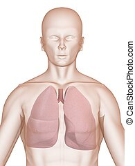 human lung - 3d rendered illustration of a human body with...