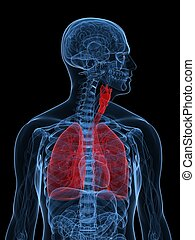 human lung - 3d rendered illustration of highlighted human...