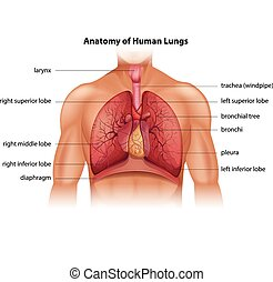 Human Lungs Anatomy