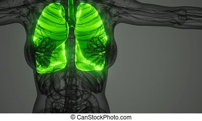 science anatomy scan of human lungs