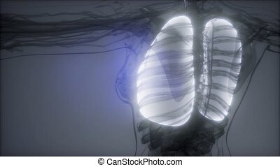 Human Lungs Radiology Exam - science anatomy scan of human...