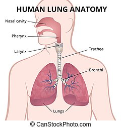 human lungs, trachea and nasopharynx - image of the anatomy...