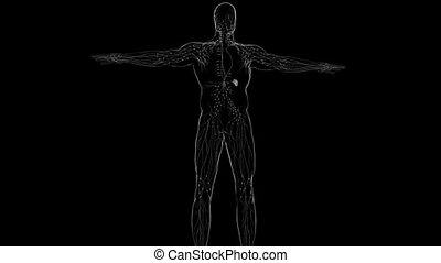 Human Lymph Nodes Anatomy For Medical Concept 3D Illustration