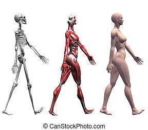 human, músculos, esqueleto, femininas