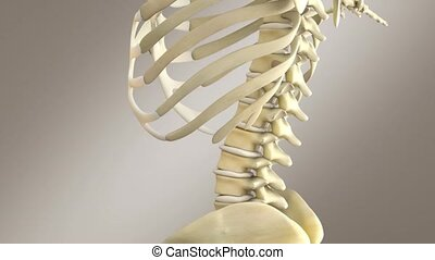 Human Male Anatomy - Male Skeleton System, Close Up - This...