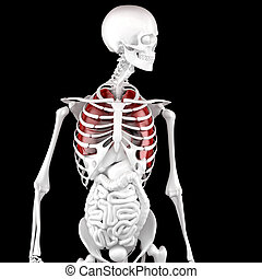 Human Male Anatomy. Skeleton and Highlighted Lungs. 3D illustration. Contains clipping path